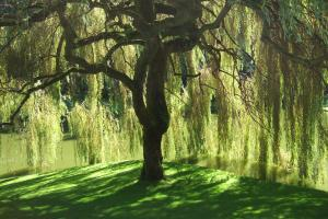 world under weeping willow